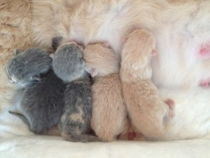 Chatons british shorthair nés le 26 Avril 2015